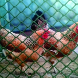BN-100 Poultry mesh